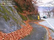 Leaves by concrete cliff, Lake Towada, Akita-ken., Japan, photo