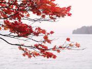 Maple leaves, Lake Towada, Akita-ken, Japan, photo
