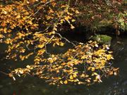 River leaves, Oirase Gorge, Aomori-ken., Japan, photo