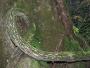 Twisted trunk, Oirase Gorge, Aomori-ken., Japan, photo