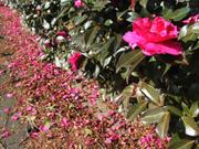 Flowering shrub, Kotozuka, Gifu, Japan, photo