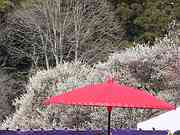 Umbrella and plum blossoms, Kairakuen Gardens, Mito, Ibaraki-ken, Japan, photo