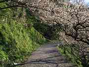 Plum path, Ano plum grove, Nishi-Yoshino-mura, Nara-ken, Japan, photo