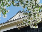 Cherry blossoms and Matsuyama Castle, Ehime-ken, Japan, photo
