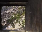 Window and cherry blossoms, Matsuyama Castle, Ehime-ken, Japan, photo
