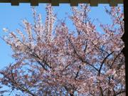 Cherry blossoms by gate, Matsuyama Castle, Ehime-ken, Japan, photo