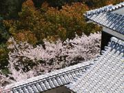 Cherry blossoms and roofs, Matsuyama Castle, Ehime-ken, Japan, photo