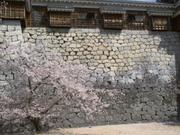 Cherry blossoms by wall, Matsuyama Castle, Ehime-ken, Japan, photo