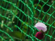 Sweet Pea, Kotozuka, Gifu, Japan, photo
