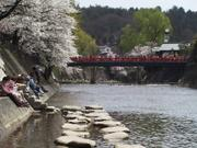 Nakabashi bridge cherry blossoms, Takayama, Gifu-ken, Japan, photo