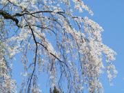 Weeping cherry blossoms, Kakunodate, Akita-ken, Japan, photo