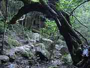 Tree over path, Trail to Jomon cedar, Yakushima, Kagoshima-ken, Japan, photo