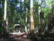 Tree trunks, Trail to Jomon cedar, Yakushima, Kagoshima-ken, Japan, photo
