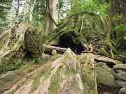 Wilson stump, Trail to Jomon cedar, Yakushima, Kagoshima-ken, Japan, photo