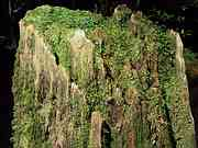 Stump and moss, Trail to Jomon cedar, Yakushima, Kagoshima-ken, Japan, photo