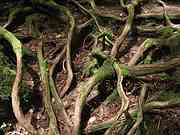 Cedar roots, Trail to Jomon cedar, Yakushima, Kagoshima-ken, Japan, photo