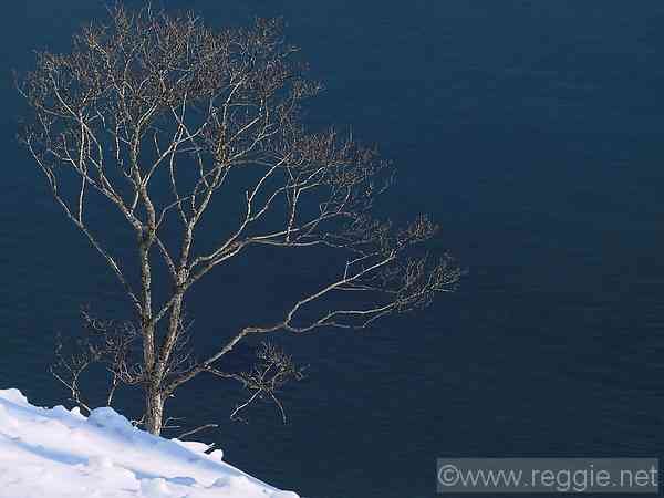 Coastal tree, near Rausu, Hokkaido, Japan, photo