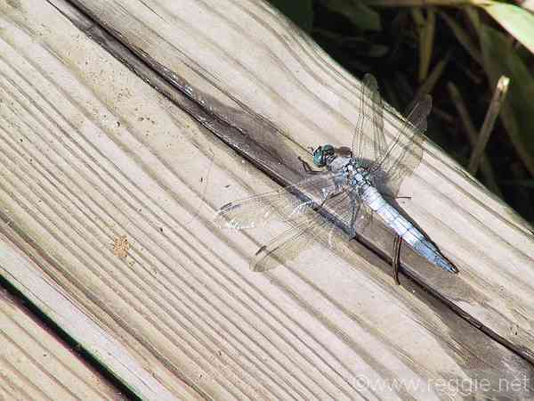 Dragonfly, Five lakes, Shiretoko peninsula, Hokkaido, Japan, photo