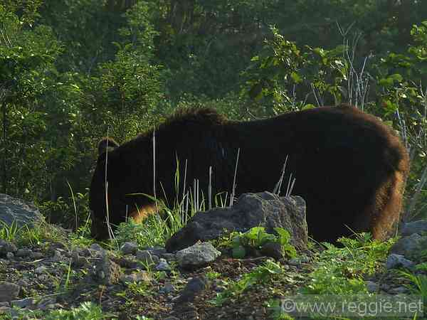Brown bear, Shiretoko Peninsula, Hokkaido, Japan, photo