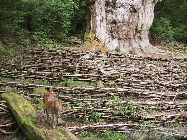 Jomon cedar and Yakushima deer, Yakushima, Kagoshima-ken, Japan, photo