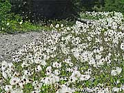 Cotton borders, Tramline walk, near Lake Louise, Alberta, Canada, photo