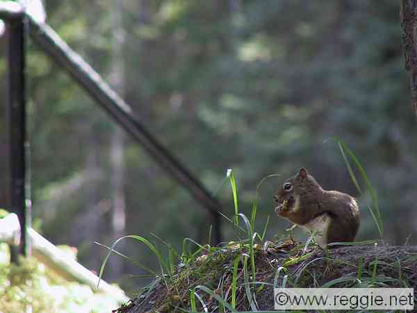 Chipmunk, Maligne Canyon, Jasper National Park, Alberta, Canada, photo
