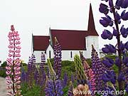 Lupins and church, Peggy\'s Cove, Nova Scotia, Canada, photo