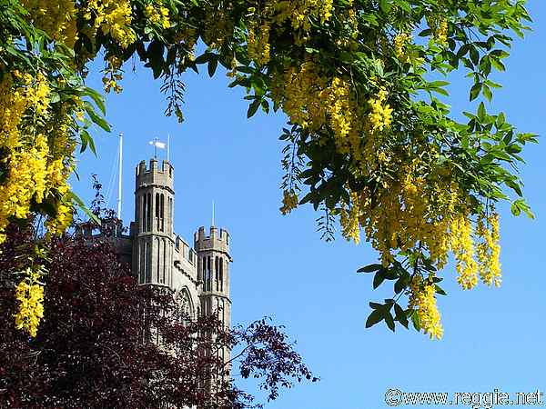 Laburnum and Octagon, Ely Cathedral, Ely, Cambsの写真
