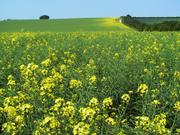 Rape fields, Cambridgeshire, England, photo