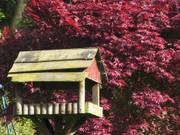 Bird table and maple tree, Parents\' garden, Lisburn, N. Ireland, photo