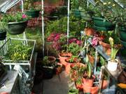 Greenhouse pots, Parents\' garden, Lisburn, N. Ireland, photo