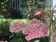 Hydrangea, Parents\' garden, Lisburn, N. Ireland, photo