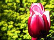 Tulip, Parents\' garden, Lisburn, N. Ireland, photo