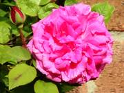 Rose, Parents\' garden, Lisburn, N. Ireland, photo