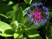 Blue flower, Parents\' garden, Lisburn, N. Ireland, photo