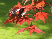 Maple leaves, Parents\' garden, Lisburn, N. Ireland, photo
