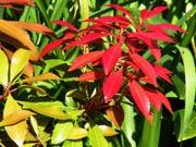 Red leaves, Parents\' garden, Lisburn, N. Ireland, photo