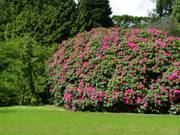 Rhododendron, Sir Thomas and Lady Dixon Park, Lisburn, Co. Antrim, N. Irelandの写真