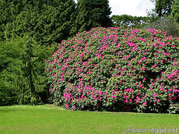 Rhododendron, Sir Thomas and Lady Dixon Park, Lisburn, Co. Antrim, N. Ireland, photo