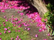 Rhododendron petals, Sir Thomas and Lady Dixon Park, Lisburn, Co. Antrim, N. Irelandの写真