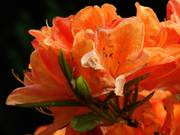 Orange flower, Sir Thomas and Lady Dixon Park, Lisburn, Co. Antrim, N. Irelandの写真