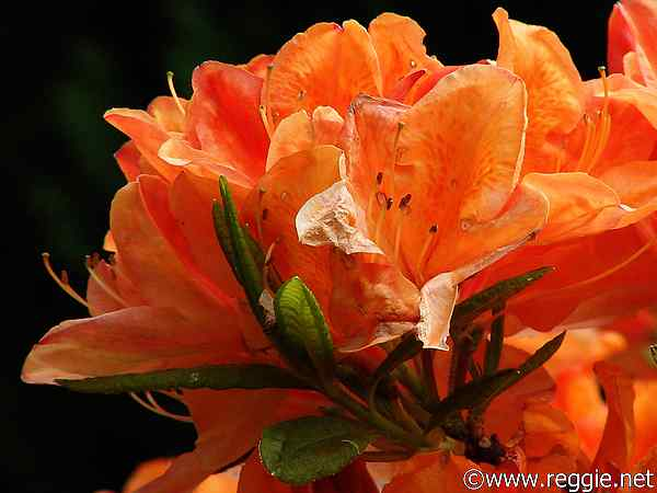 Orange flower, Sir Thomas and Lady Dixon Park, Lisburn, Co. Antrim, N. Ireland, photo