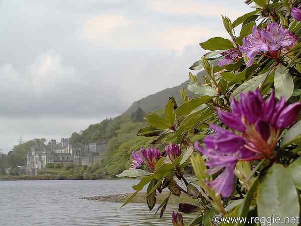 Rhododendrons, Kylemore Abbey, Co. Galway, Ireland, photo