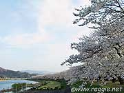 Cherry blossom river banks, Kakunodate, Akita-ken, Japan, photo