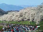 Hanami (cherry blossom viewing) crowds, Kakunodate, Akita-ken, Japan, photo