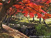 Maples, Nara Park, Nara, Japan, photo